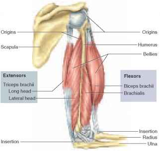 General Anatomy of Skeletal Muscles - Unity Companies