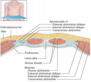 Anterior abdominal wall cross section muscles of the abdomen unity