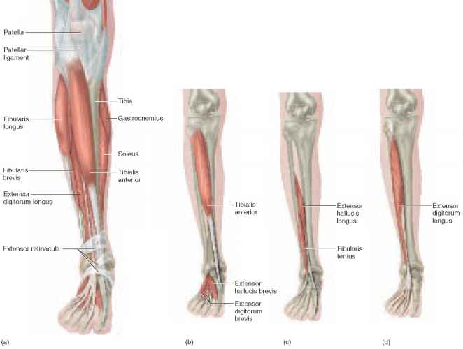 lateral compartment of leg - photo #37
