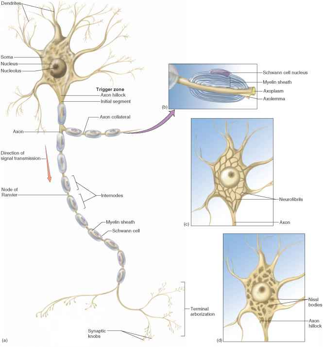 Structure Of A Neuron - Unity Companies