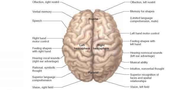 Brain Overview