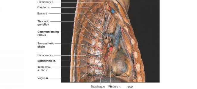 Thoracic Cavity Lateral View Anatomy