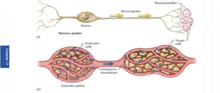 endocrine system communication The endocrine system is a set of hormone secreting glands within the body of an animal the function of the endocrine system is homeostasis, communication and response to stimuli.