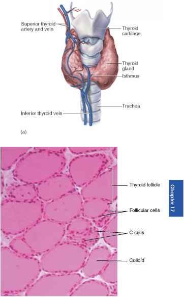 The Thyroid Gland - Unity Companies - RR School Of Nursing