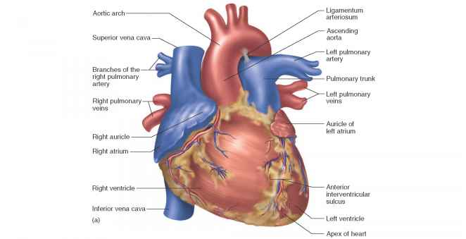 the heart wall - unity companies - rr school of nursing, Muscles