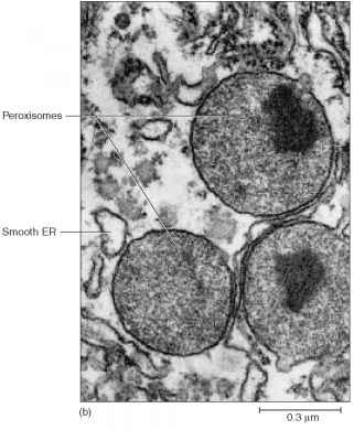 Lysosomes And Peroxisomes Function