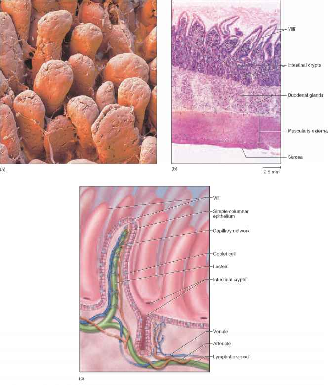 B Histological Section Of The Duodenum Showing Villi Intestinal Crypts And Duodenal Glands C Structure A Villus